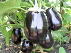 баклажан, овощи