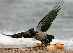 ворона, птица