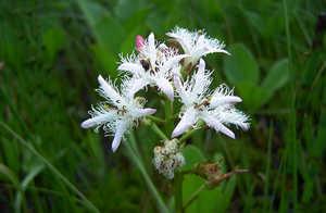 Вахта трехлистная, цветы